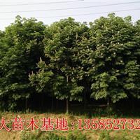 馬褂木基地價格報價圖片/江蘇馬褂木*新價格報價