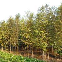 10公分水杉价格,池杉,12公分池杉价格,水杉批发,池杉批发