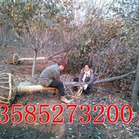 江蘇櫸樹價格報價,供應7-20公分櫸樹,移栽櫸樹價格