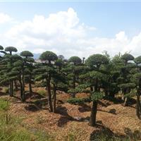 造型黄金榆树;造型黄金榆树桩景,榆树