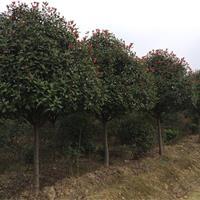 红叶石楠树图片,8公分红叶石楠;