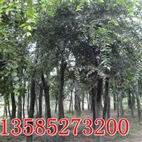 江苏朴树,供应7-20公分朴树,移栽朴树价格,丛生朴树价格