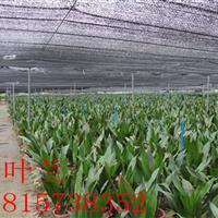 批发室内植物四季常青一叶兰盆栽花卉一叶兰苗 净化空气 量大从