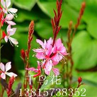 基地直供优质地被植物紫叶千鸟花 宿根花卉千鸟花 园林绿化花卉