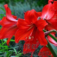 基地直供优质地被植物草花朱顶红 宿根花卉朱顶红 园林绿化花卉