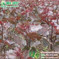中华红叶杨 江西红叶杨树苗价格 正宗杨树小苗供应包成活