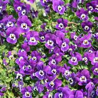 大量批发出售紫罗兰、三色堇,有需要的可以随时联系