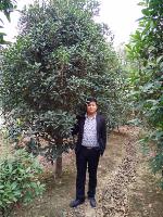 安徽桂花,肥西从生桂花精品,桂花*好供应商,低价供应商