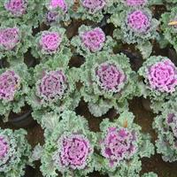 基地直销耐寒室外观叶花卉羽衣甘蓝,红色,白色,紫色 量大从优