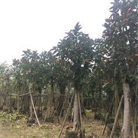 大量供应精品袋苗橡皮榕8-25公分