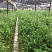 香榧小苗基地  供应优质香榧小苗