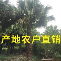 千亩蒲葵 高杆蒲葵1m-10m农户基地直销,蒲葵规格齐全