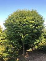 江苏3000亩基地,直销5-25公分优质 小叶鸡爪槭