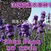 薰衣草种子 新疆伊犁法国蓝薰衣草种子