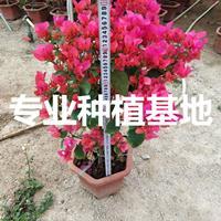中國紅三角梅