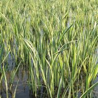 杭州萧山大量供应花叶菖蒲500万芽,和其他水生植物,价格优惠