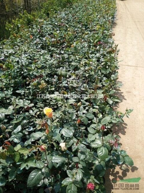 供应月季 品种月季 丰花月季 树状月季