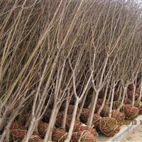 低价出售木瓜海棠、木槿、石榴、紫藤、广玉兰、紫白玉兰等
