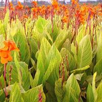 低价抛售旱伞草、花叶香蒲、花叶水葱、花叶美人蕉