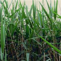 低价抛售红莲子草、金叶菖蒲、芦苇、芦竹、蔺草