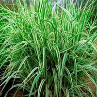 低价抛售细叶芒、香菇草、玉带草、野茭白