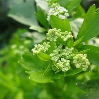 低价抛售水生鸢尾、水芹花、水菖蒲、杉叶藻、香蒲