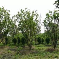 香泡,低分枝香泡,丛生香泡 柚子树