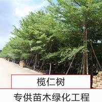 广东中山5~20cm小叶榄仁、细叶榄仁、非洲榄仁、雨伞树