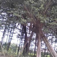 广东中山5~35cm小叶榕树、细叶榕树、大叶榕、高山榕