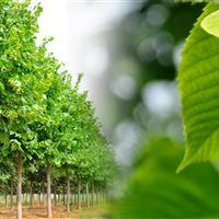 燕园农业供应、欧洲小叶椴、美洲椴、银叶椴、金叶椴树。