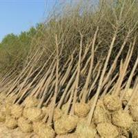 山东大量供应3-20公分白蜡树苗,量大从优