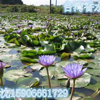 浙江杭州大量供应荷花500万棵,睡莲600万棵,价格优惠。
