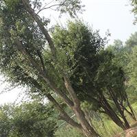 低价销售米径10-50cm的三角枫