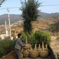 供应红豆杉苗南方红豆杉精品红豆杉