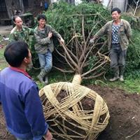 供应大小规格红豆杉苗南方红豆杉
