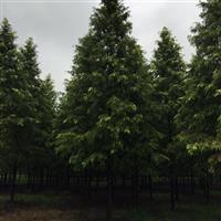金叶水杉,最新金叶水杉报价,大批量低价抛售金叶水杉,基地直销