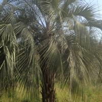 福建布迪椰子什么价