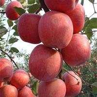 占地果树·5公分苹果树5公分桃树·5公分核桃树·5公分梨树价