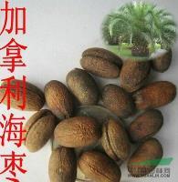 江苏批发林木种子 加拿利海枣种子景观树种 长叶刺葵种子 槟榔竹种子