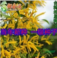 江苏台湾相思种子 相思树种子 相思子 当年新采特价促销 优惠 质量好信息