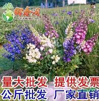 江苏大花飞燕草种子 小飞燕草 阳台庭院盆栽草本花卉 千鸟草籽 2克装
