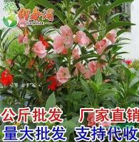 江苏花种子 阳台专用 盆栽 茶花凤仙花种子中国凤仙花籽 庭院花镜种植介绍