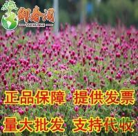 江苏进口千日红种子 盆栽花种 阳台庭院观花种籽 火球花千年红2元40粒