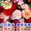 江苏康乃馨种子花卉香草种子阳台盆栽绿植四季可播种包开花100粒