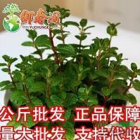 江苏驱蚊草食用柠檬猫薄荷种子阳台花种子盆栽易种四季播花草种300粒信息
