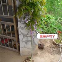 紫藤花 紫藤小苗 紫藤苗木 爬藤植物  园林绿化小区绿化