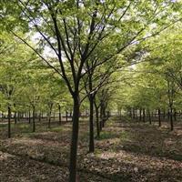 榉树价格 嵊州榉树