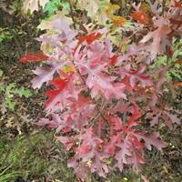 出售青冈娜塔栎河桦柳叶栎北美红栎红针栎浙江楠刨花楠桢楠