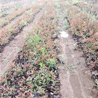 南京红叶石楠价格,红叶石楠苗,红叶石楠绿篱,红叶石楠球
