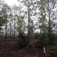 杂交鹅掌楸,北美鹅掌楸,马褂木,乔木